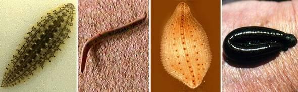 Кольчатые черви примеры