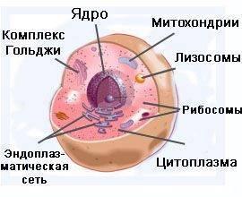 Строение клетки сообщение