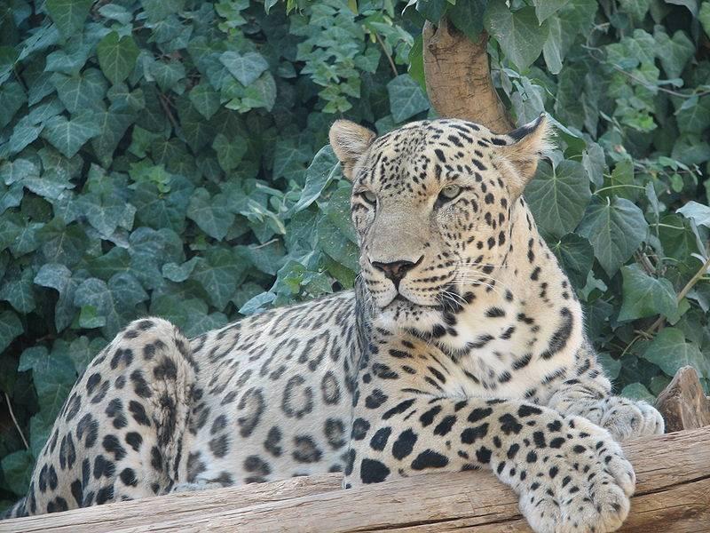 Леопард окрас