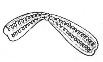 В половых клетках содержится хромосом