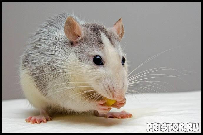 Уход за домашними крысами