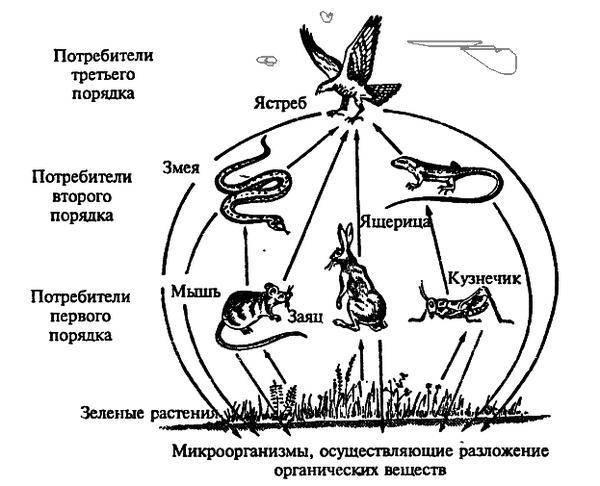 Цепочка животных кто кого ест