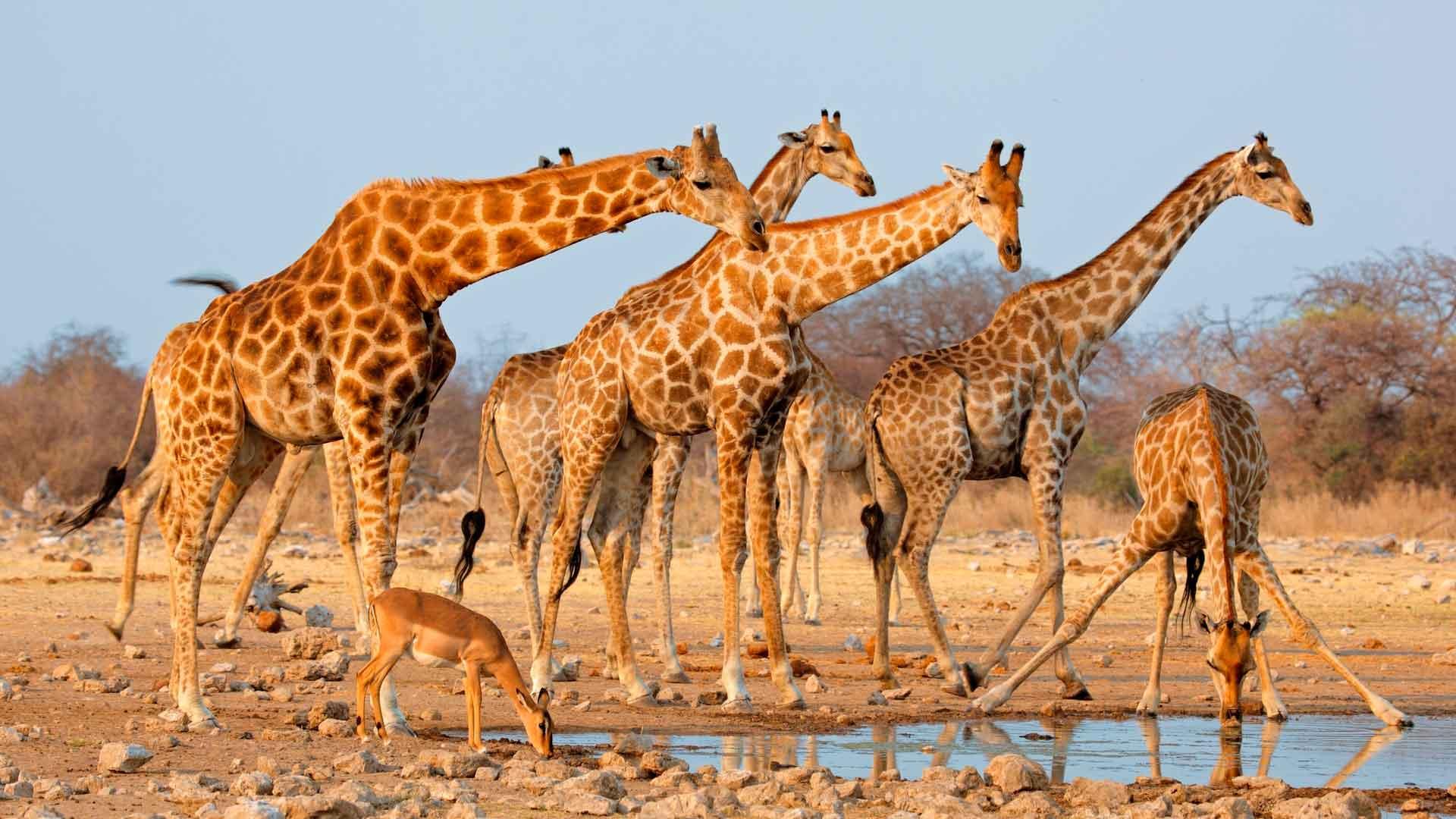 Сообщение о жирафе 3 класс