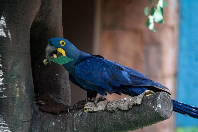 Синий попугай ара