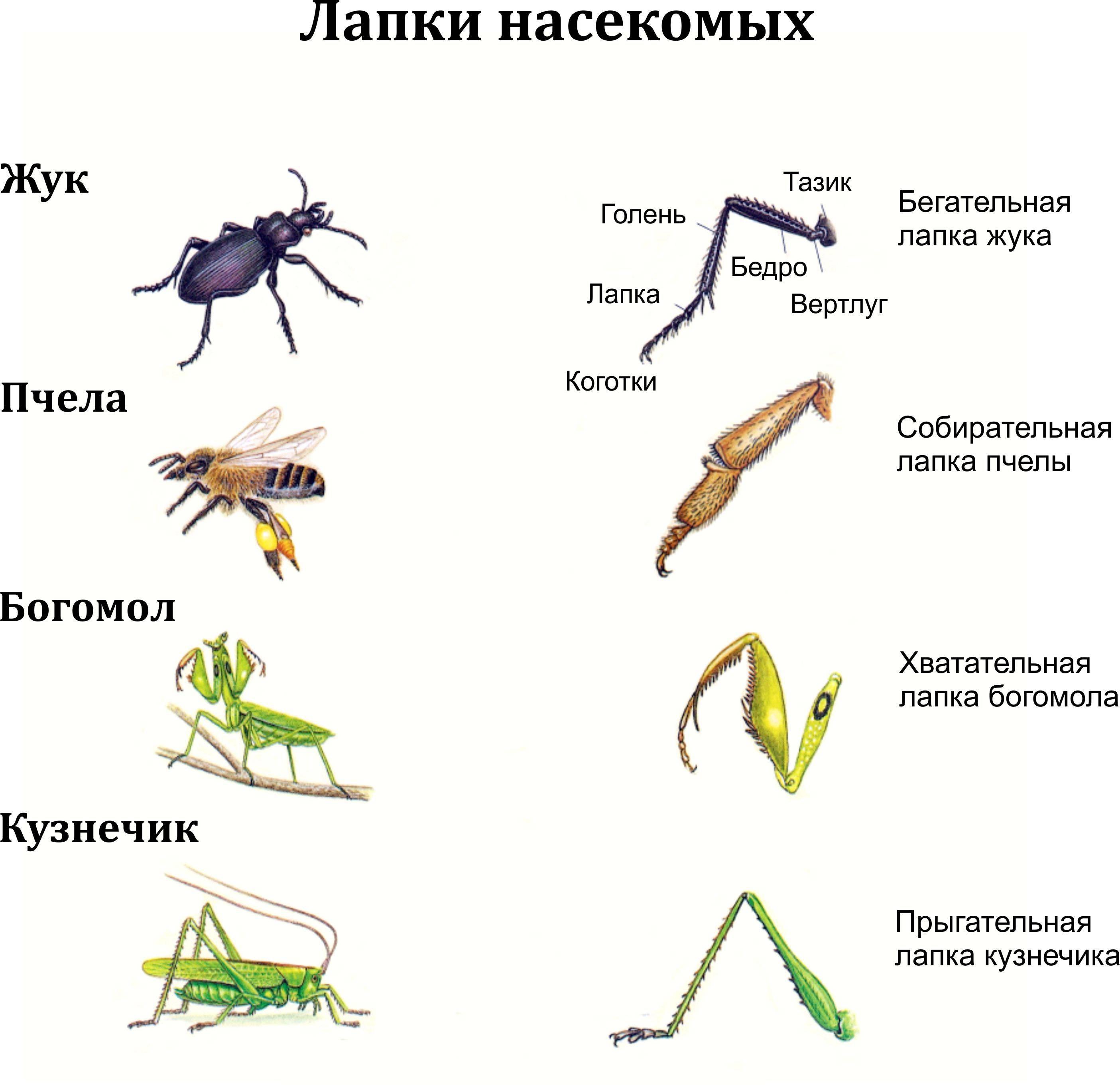 Конечности насекомых состоят из