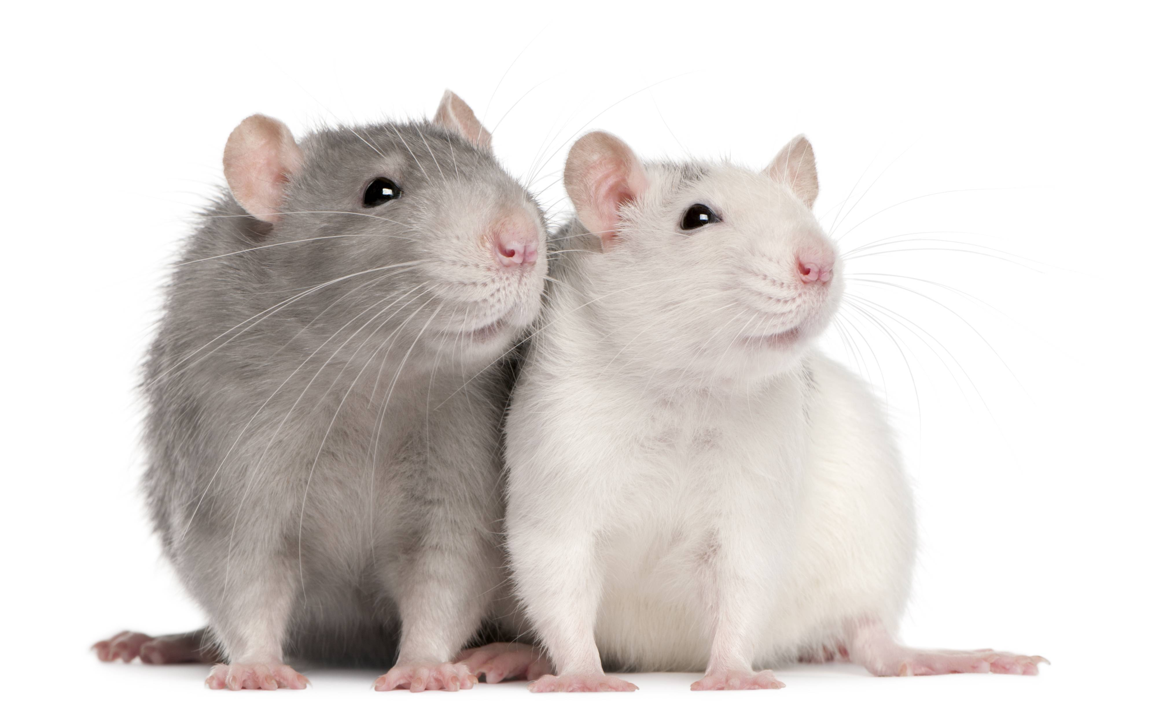 Крыса уход и содержание в домашних условиях