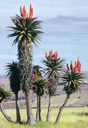 Какие растения растут в африке