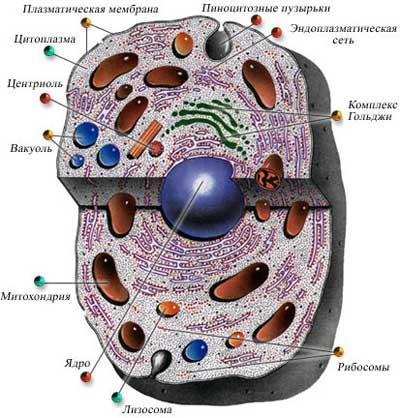 Строение хромосомы эукариотической клетки рисунок