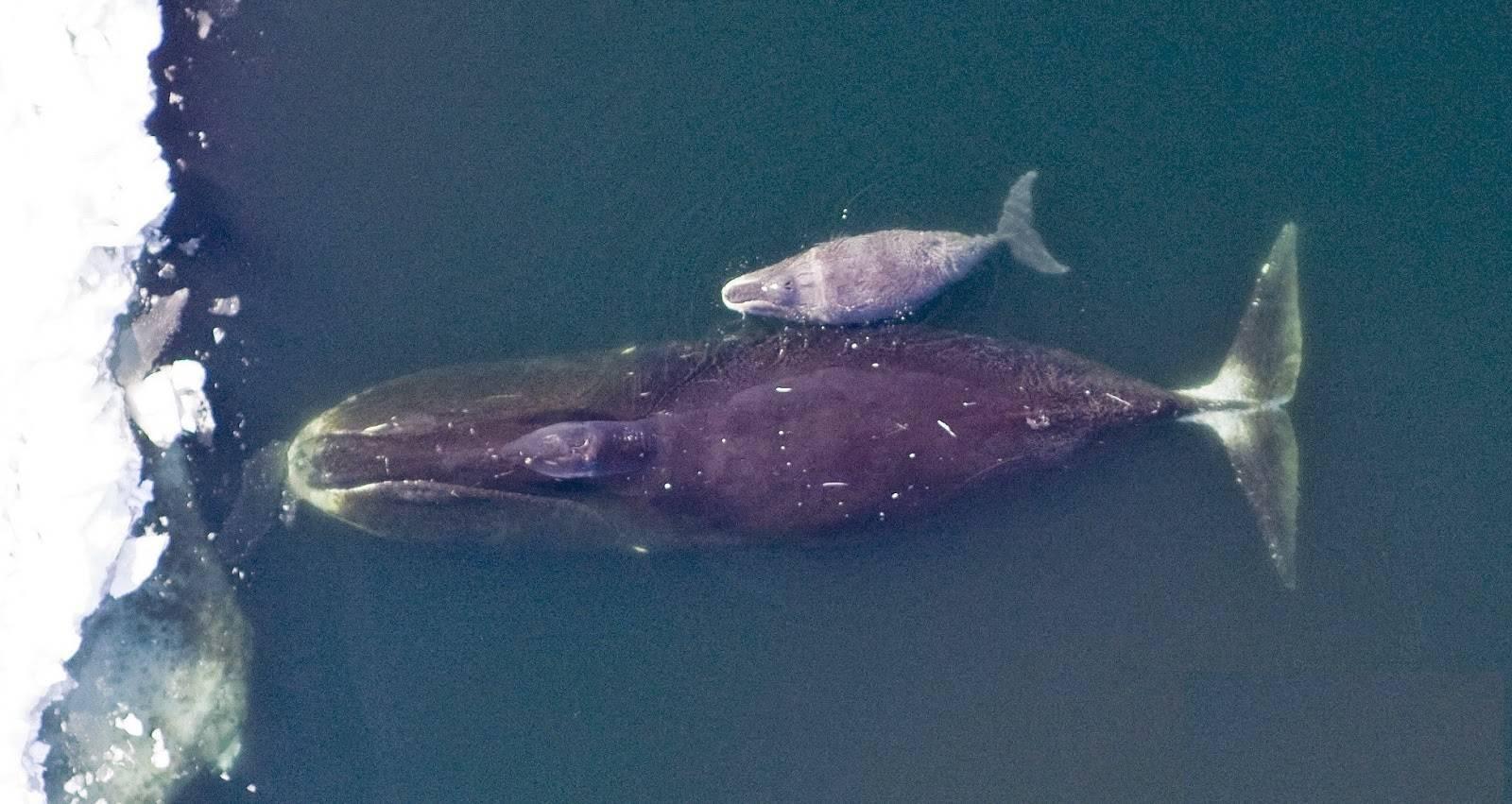 Гренландский кит интересные факты