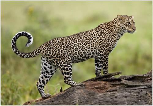Как выглядит леопард фото
