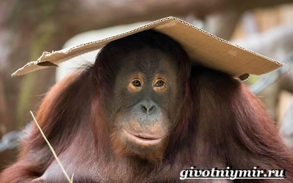 К человекообразным обезьянам относят