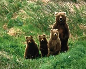Продолжительность жизни животных медведь