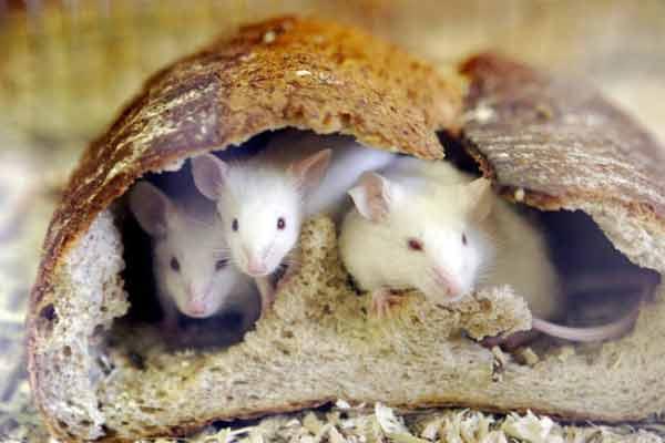 Мышь млекопитающее или нет