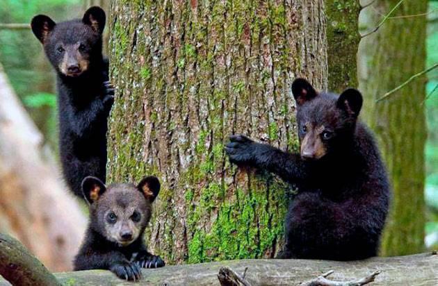 Черный медведь барибал