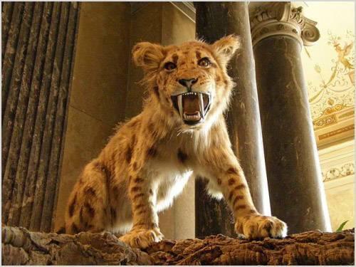 Рисунок саблезубый тигр