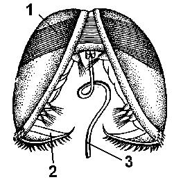 Двустворчатые моллюски примеры