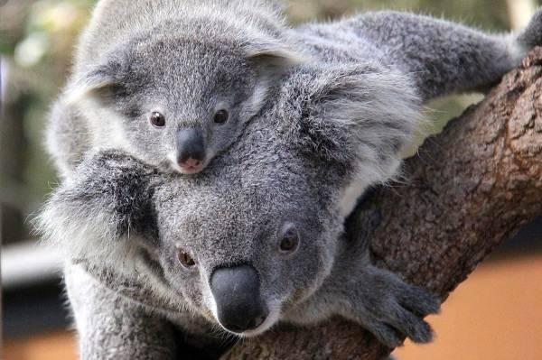 Где живет коала на каком материке