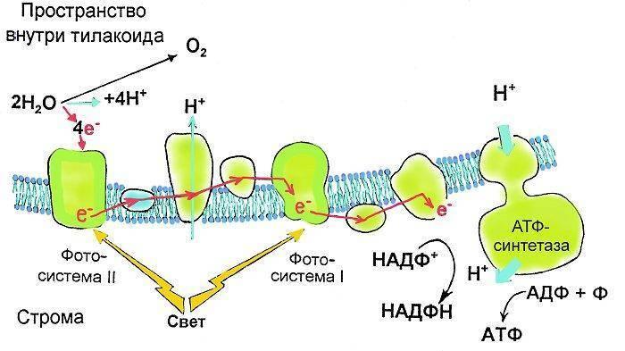 Солнечная энергия в процессе фотосинтеза