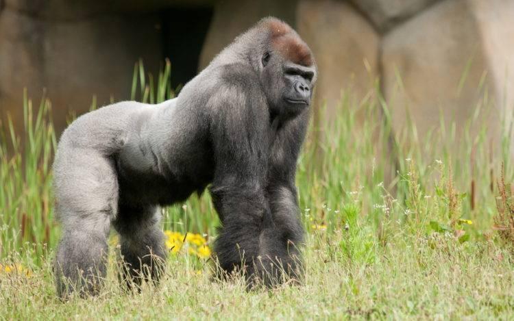 Где живет горилла материк
