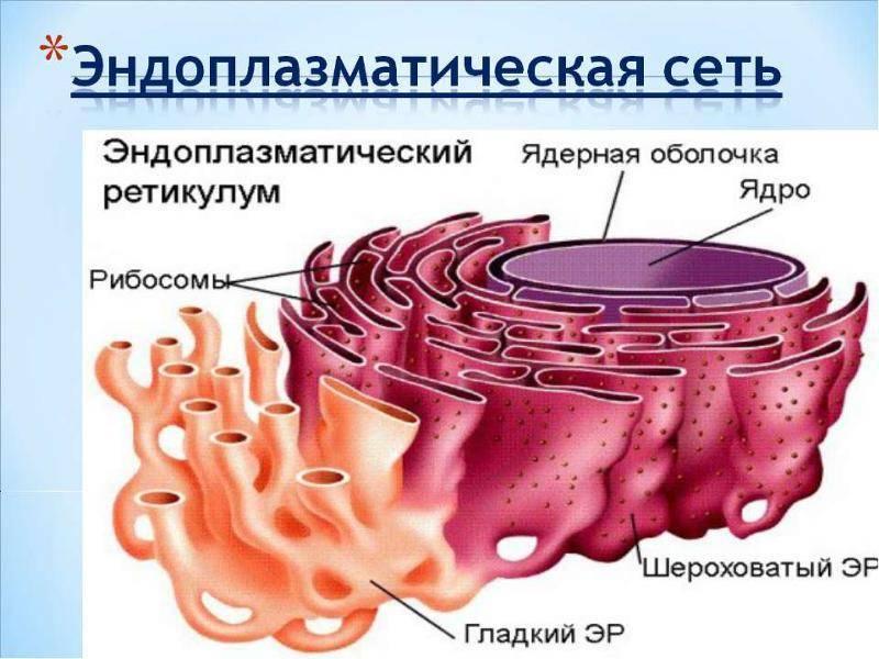 Лизосомы в клетке образуются в