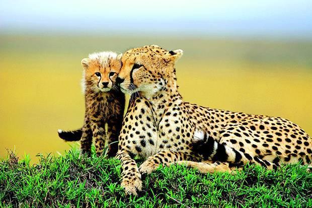 Жизнь гепардов