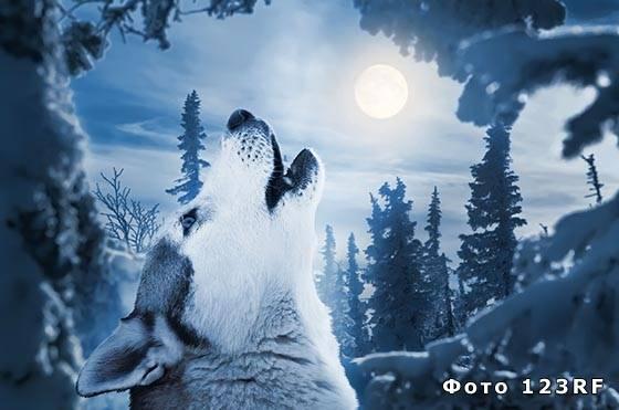 Зачем волки воют на луну