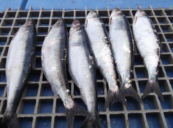 Рыба северных морей список