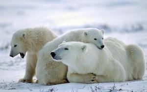 Почему белые медведи не живут в антарктиде