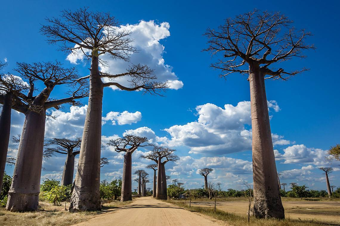 Баобаб дерево фото и описание