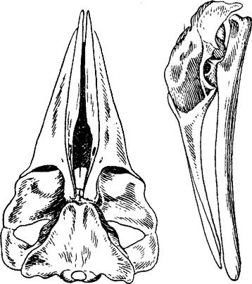 Малый полосатик фото