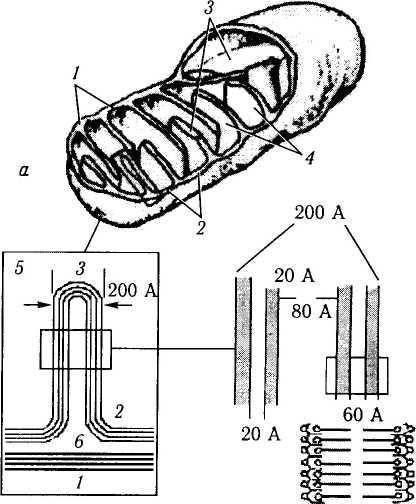 Комплекс гольджи наиболее развит в клетках