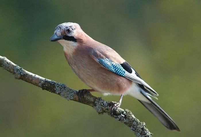 Кочевые птицы