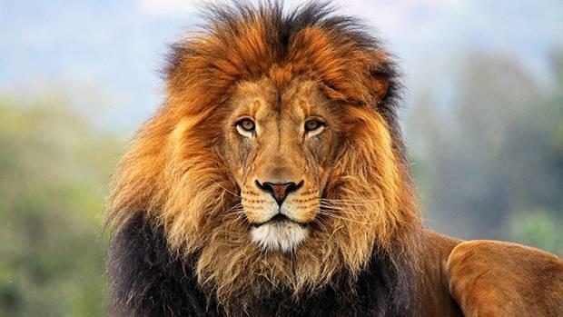 Популяция львов