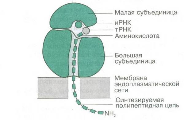 Рибосомы у растений