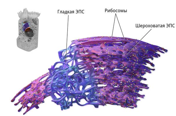 Какую функцию в клетке выполняет эндоплазматическая сеть