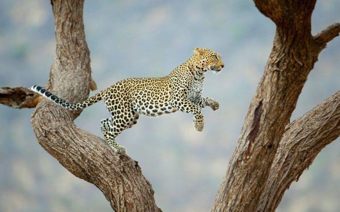 Самка леопарда как называется