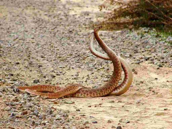 Размножение змей видео