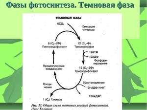 Опишите процесс фотосинтеза