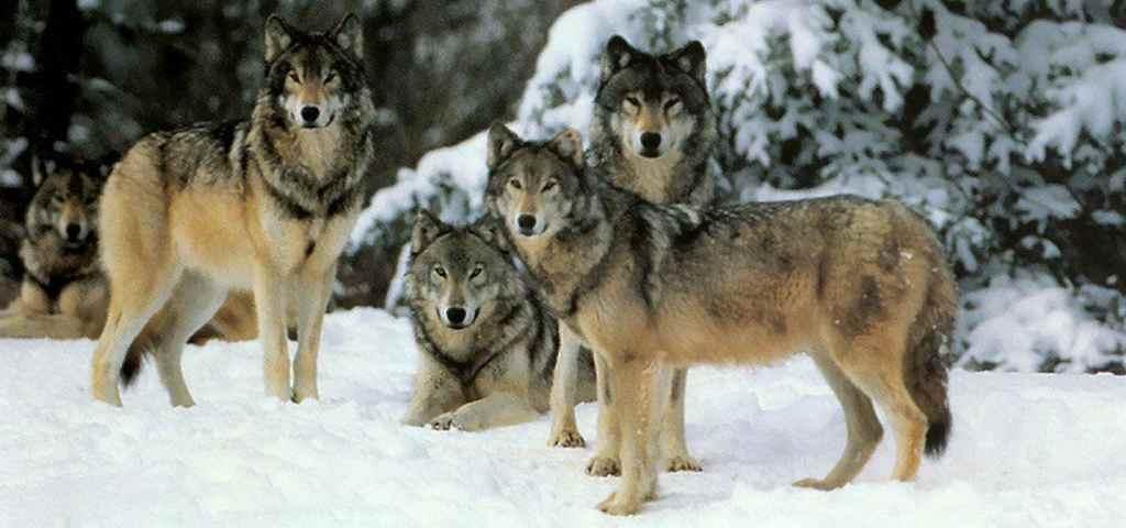 Волк интересные факты для детей
