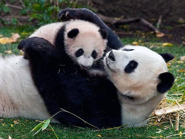 Внешний вид панды