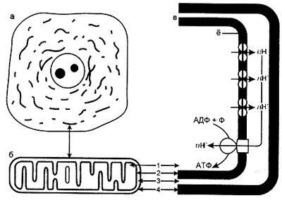 Строение митохондрий биохимия