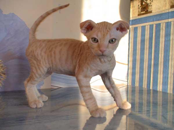 Самые игривые породы кошек