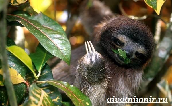 Сколько живут ленивцы