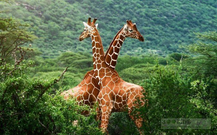 Продолжительность жизни жирафа