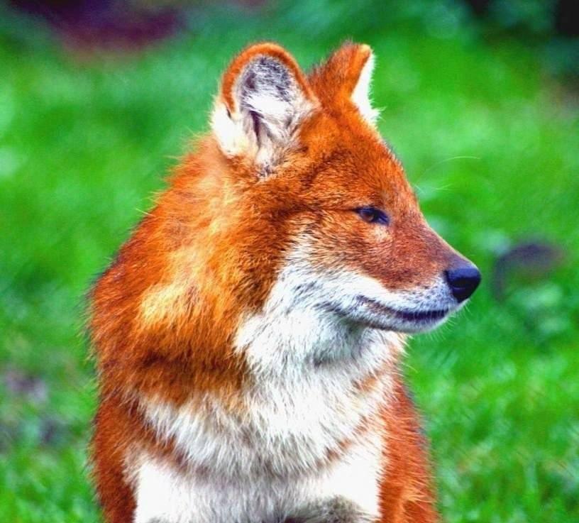 Фото красного волка из красной книги