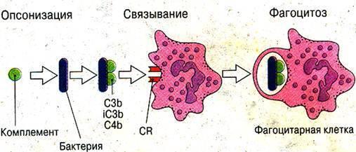 Стадии фагоцитоза схема