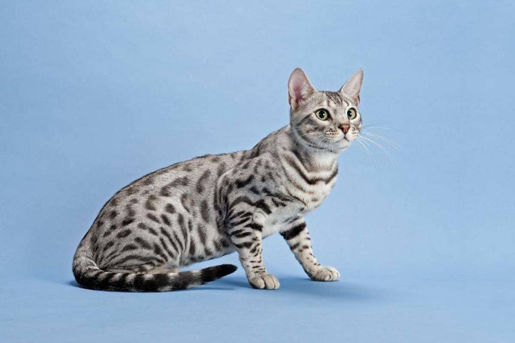 Пятнистые кошки порода