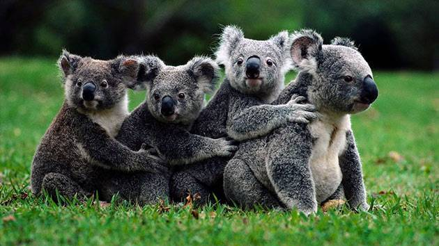 Коала живет в австралии