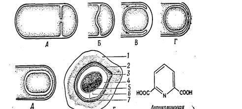 Перитрихиальное расположение жгутиков