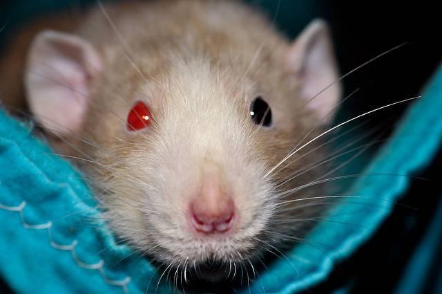 Разновидности крыс фото